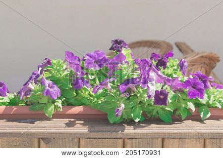 Colorful flowers of petunia in the big wooden flowerpot in the cafe at open terrace