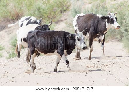cow in the sands of the steppe .
