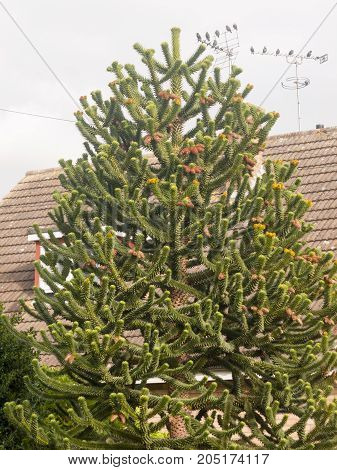 Monkey Tree Branches With Leaves Outside House In Garden