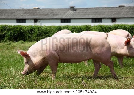 Pigs Enjoying Sunshine On Green Grass Near The Farm