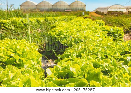 Alignment Of Ripe Salads In An Organic Field