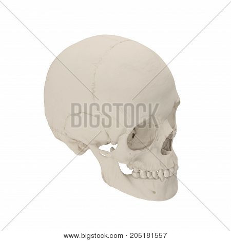 Anatomically correct medical model of the female human skull on white background. 3D illustration