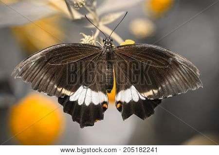 Papilio Polytes (male), The Common Mormon, Exotic Butterfly.