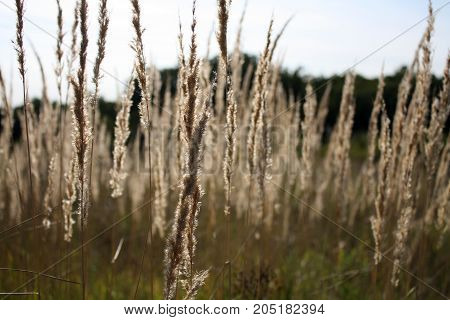 An agricultural background with singing spikelets of rye in the rays of the evening sun at sunset. A beautiful evening in a rye field.
