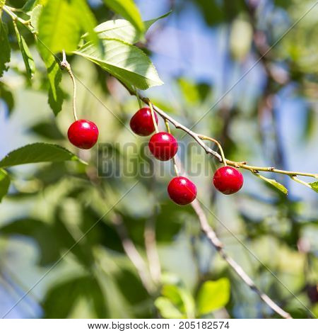 ripe cherry on the tree in nature .