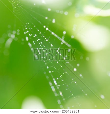 Spider on web covered by water drops, green background .
