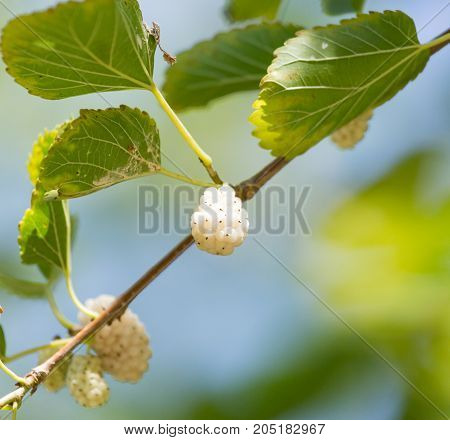mulberry berries on branches of a tree .