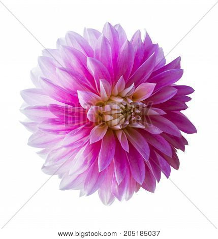 Beautiful pink dahlia Dahlia. Dahlia flower. Dahlias isolated on white background