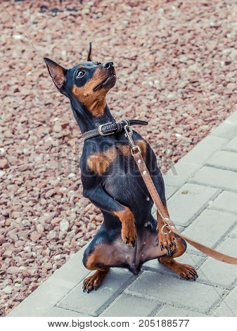 Zwergpinscher dog portrait close up, view from side. Black miniature pinscher Zwergpinscher, min pin standing. Playful pet outdoors.