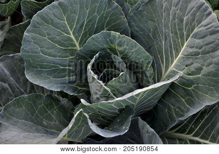 Ovary head cabbage of late varieties of green leaves