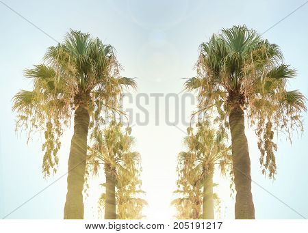 Alley of tall palm trees toned sky and yellow sun rays coming through the leaves. summer in Albania