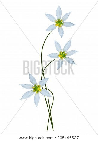 Spring flower snowdrop isolated on white background.