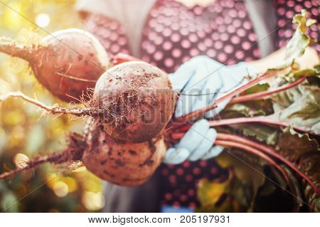 Farmer holding organic beets beetroot with green leaves in hands. Closeup view toned image. focus on one beet