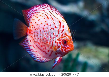 Baby Discus Fish Swimming In Freshwater.