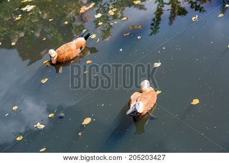 Ducks On The Water Surface