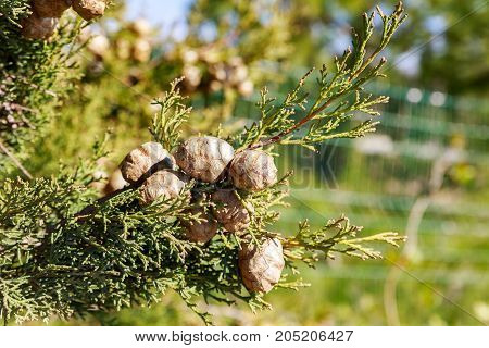 Ripe Dry Cypress Cones On His Tree