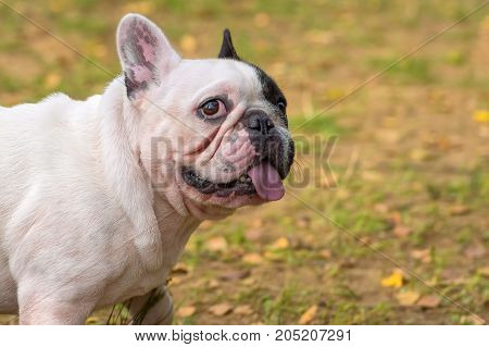 guilty look and frightened eyes. French Bulldog typical small dog fighting dog. Space under the text. 2018 year of the dog in the eastern calendar. Concept: parodist dogs, dog friend of man, true friends, rescuers.