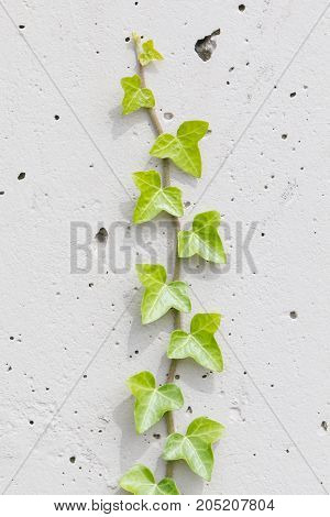 Old Cement Wall Background With Ivy Climbing Tree
