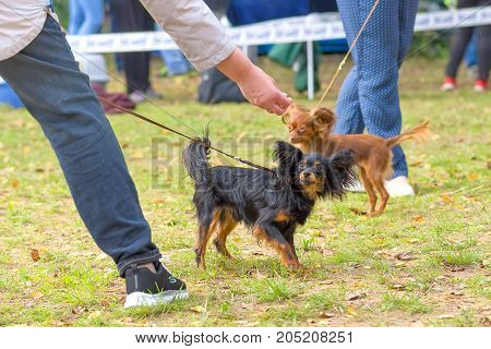 Continental toy spaniel Papillon Dog. Space under the text. 2018 year of the dog in the eastern calendar Concept: parodist dogs, dog friend of man, true friends, rescuers.