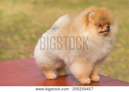 Spitz is a decorative breed of dogs. Space under the text. 2018 year of the dog in the eastern calendar Concept: parodist dogs, dog friend of man, true friends, rescuers.