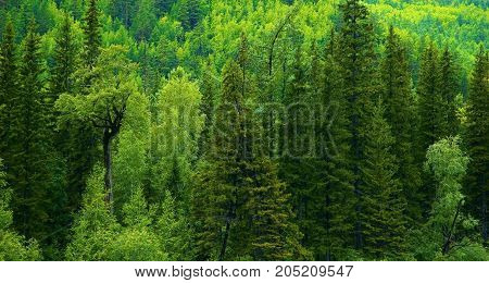 Taiga is a biome characterized by a predominance of coniferous forests formed mainly boreal species of spruce, fir, larch and pine. The word