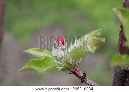 Apple flower bud. Red tender apple tree flower with green leaves. Fresh spring apple tree green leaves and flower.