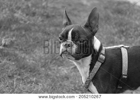 Little boston terrier dog portrait. Black and white portrait of boston terrier dog in the garden. Lovely small dog. Dog staring forward.