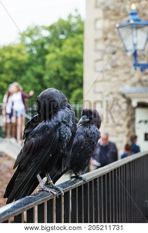 LONDON - AUGUST 21 2017: two black ravens in the Tower of London UK. Common raven (Corvus corax).