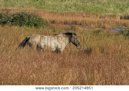 photo of a wild Konik horse walking in long grass