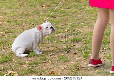 French Bulldog Lazy dog lay down on the grass and does not want to execute the host team. Space under the text. 2018 year of the dog in the eastern calendar. Concept: parodist dogs, dog friend of man, true friends, rescuers.