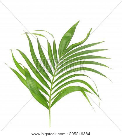 green leaf of palm tree isolated on white background