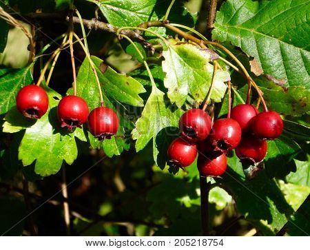 Haws, the red fruit of the common hawthorn tree