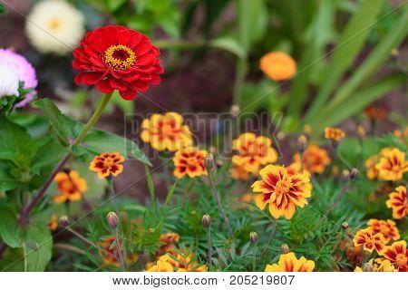 one red flower of common zinnia or elegant zinnia