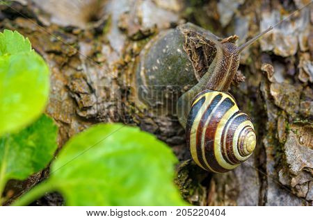 snail who is slowly creeping on bark of an old tree against the background of green leaves