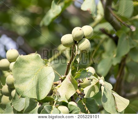 Walnuts on the tree in nature . In a park in the nature