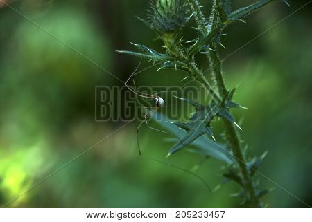Harvestmen Spider perched on a green plant
