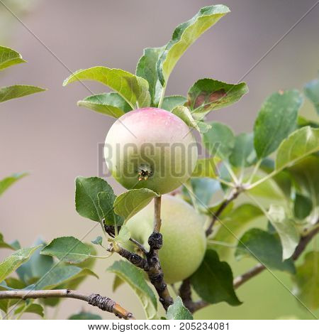 apples on the tree . In a park in the nature