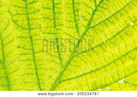 Background of the green sheet. close-up . In a park in the nature
