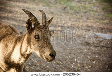 Рortrait of a mountain goat. Mountain goat on natural natural background.