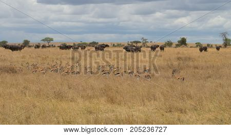 A herd of Thompson's Gazelle accompanying cape buffalo herd