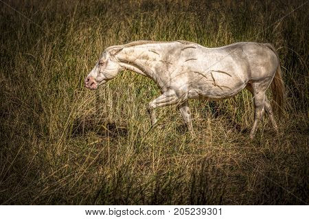 A beautiful whie mare grazing on grass near Rathdrum Idaho.