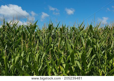 close-up of a corn plantation with a blue sky background