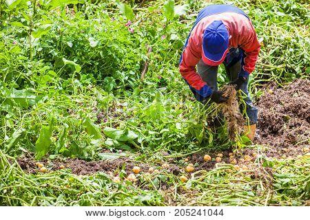 Workers Harvesting Yellow Potato (solanum Phureja)