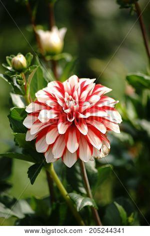 The portrait of a red dahlia with many small petals and a white center.
