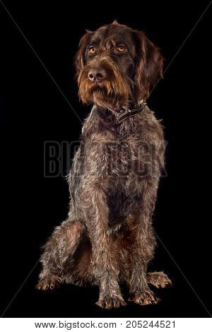 german wirehaired pointer on black background in full growth