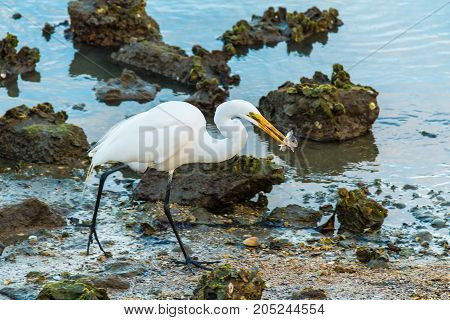 Heron with fish in its beak walking on shore of a river with oysters