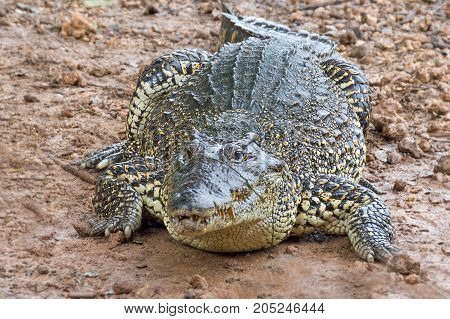 crocodiles on crocodile farm, river, tropics, Cuba