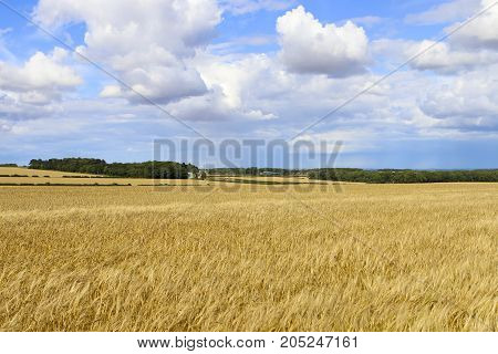 Golden Barley And Woodland