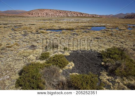 Midden of droppings from Vicuna in a wetland along a tributary of the River Lauca high on the Altiplano of northern Chile in Lauca National Park.