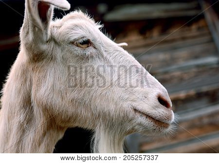Livestock in the countryside. Photo of a white goat at close range